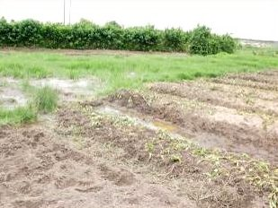 Chitungwiza - growing garden in sewage